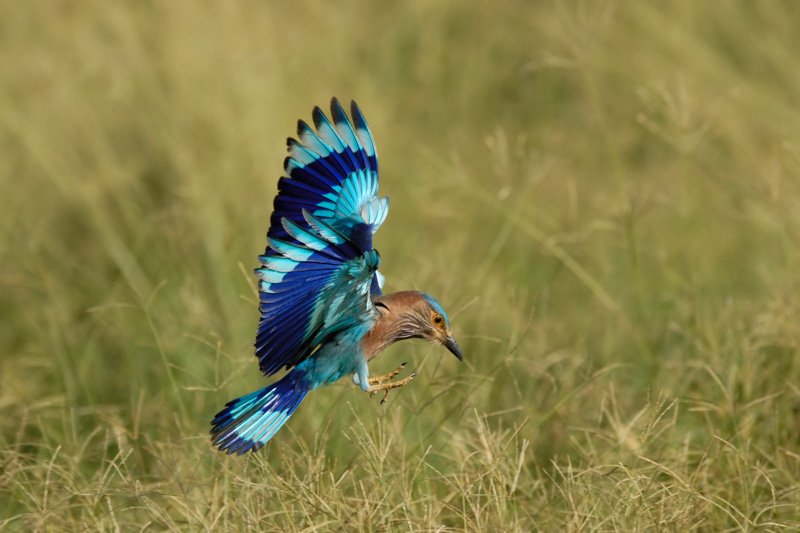 India Safari - Indian Roller