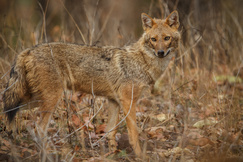 India Safari - Indian Jackal Pench