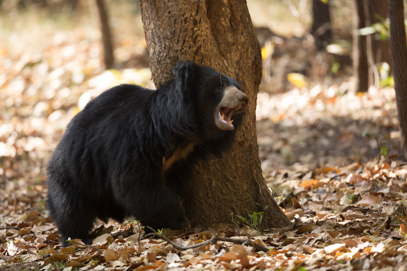 India Safari - Sloth Bear