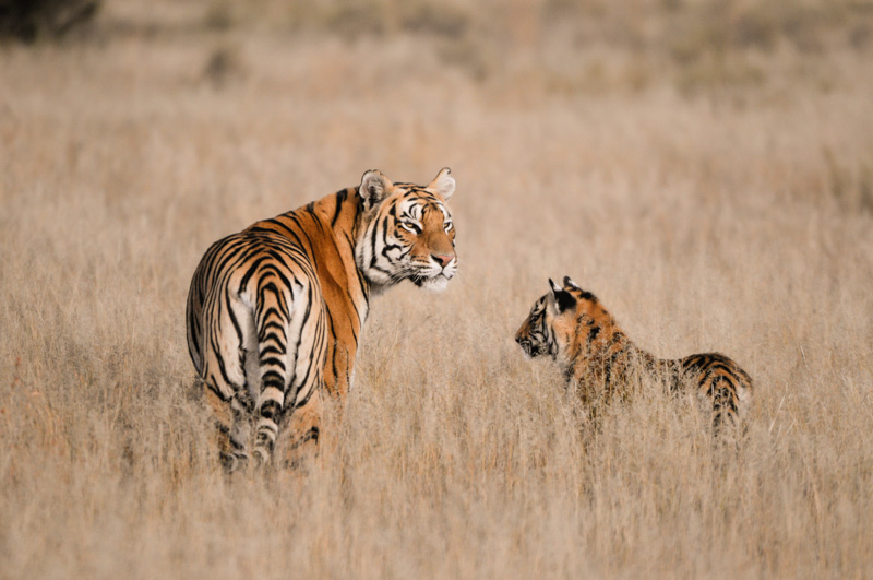 India Safari - tigress and cub