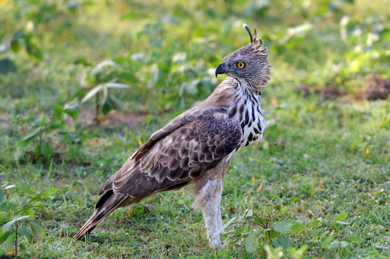 India Safari - changeable hawk eagle