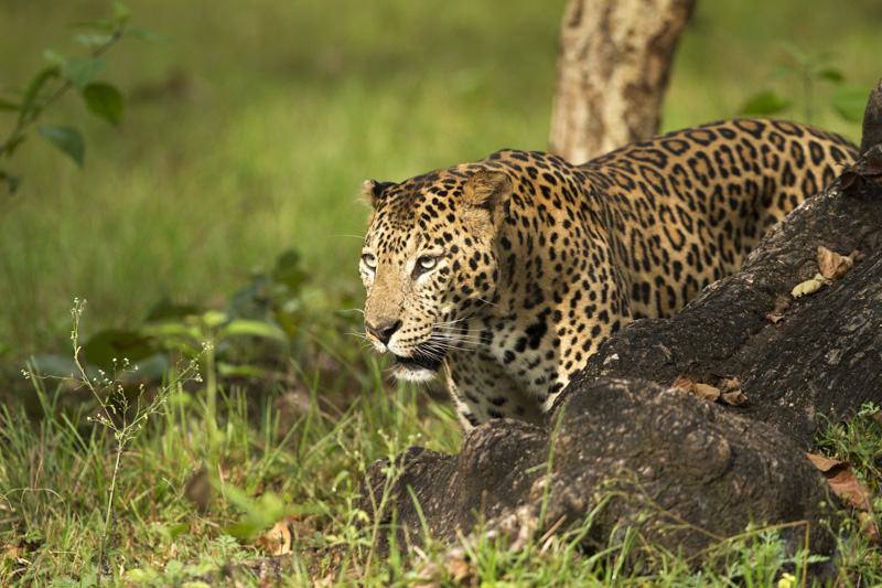 India Safari - Asian Leopard