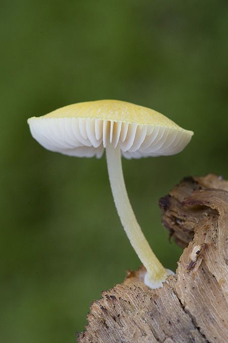 Gilled fungi
