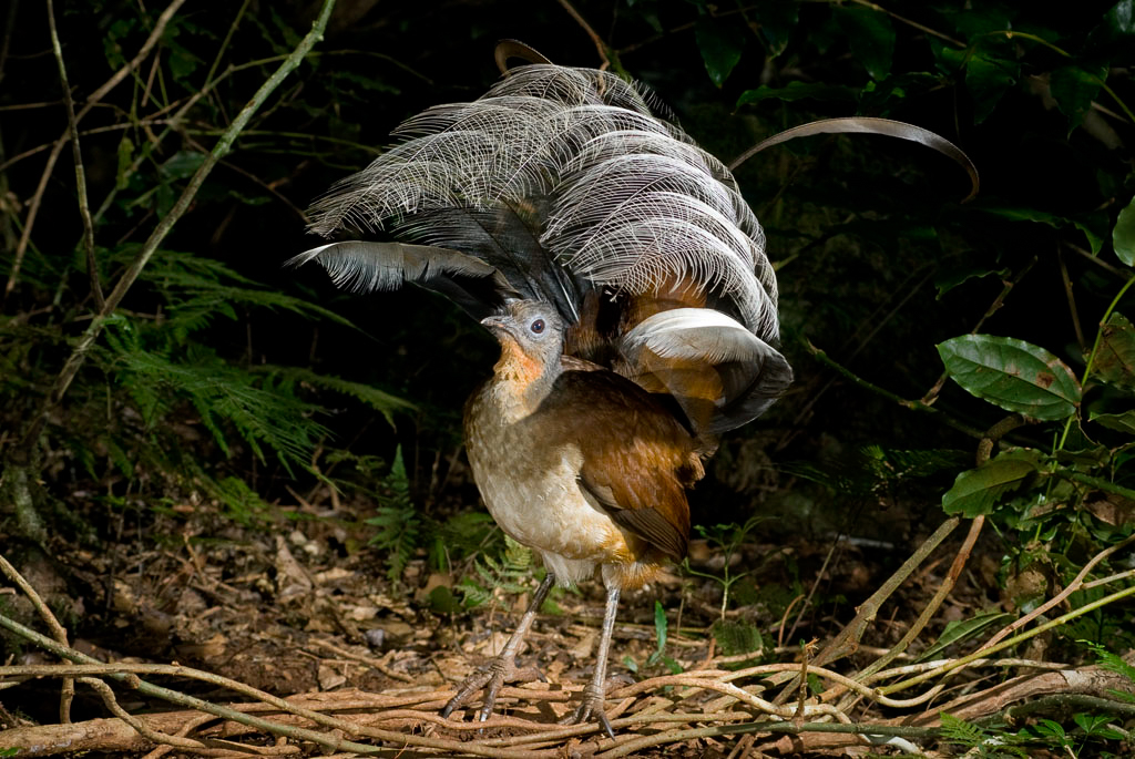 Albert's Lyrebird