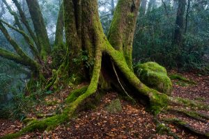 Antarctic Beech Trees Lamington National Park