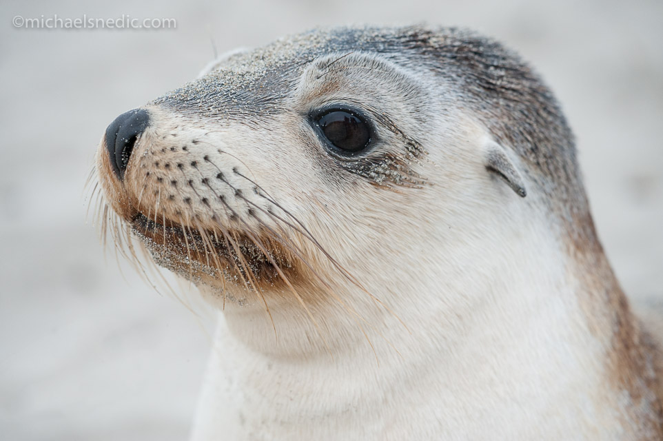 Australian Sea Lion – Juvenile