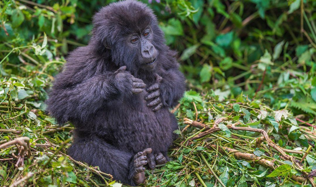 Baby Mountain Gorilla