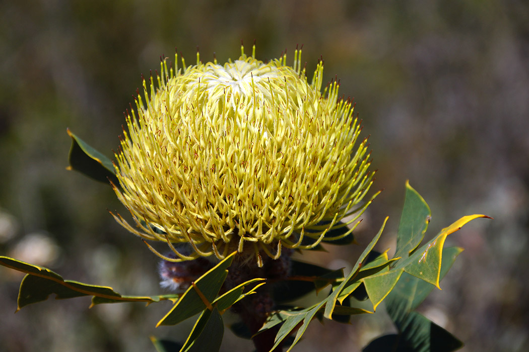 Australian,Wildflower:,Yellow,Flower,Of,The,Birds-nest,Banksia,,Banksia,Baxteri,
