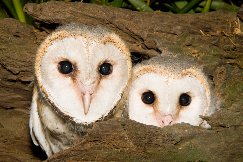 Barn Owls (juvenile)