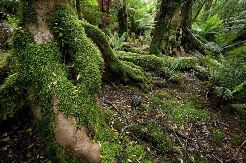 Blue Tier rainforest - Tasmania