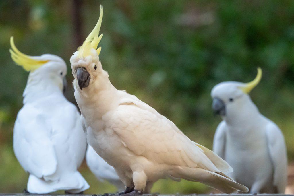 Cockatoos Grants Picnic Ground