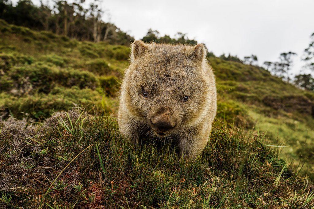 Wombat at Cradle Mountain, Tasmania