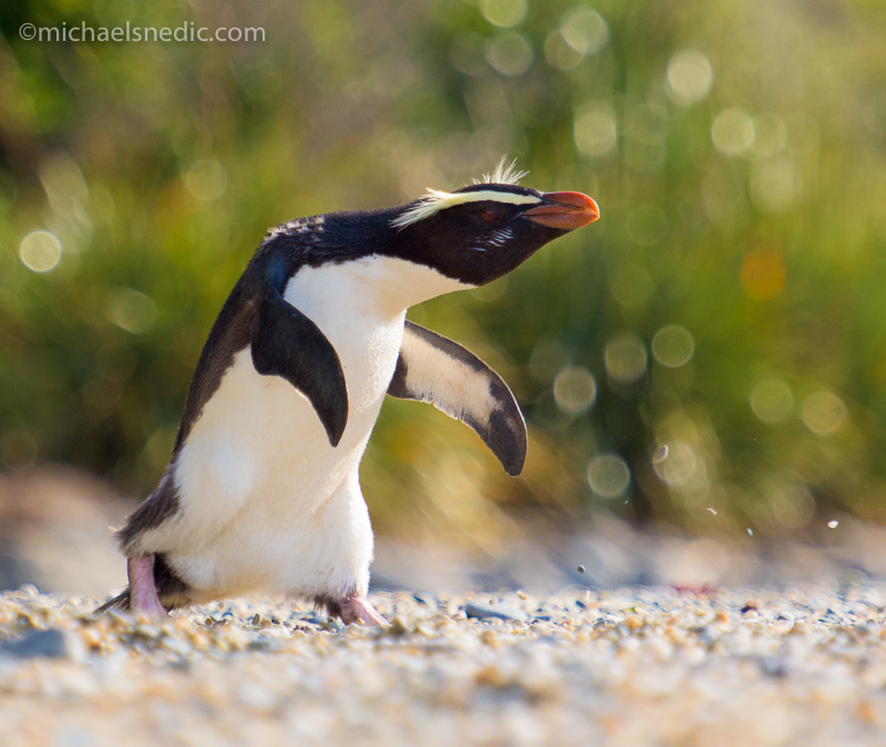 crested fiordland penguin