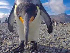 Curious King Penguin