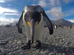 Curious King Penguin