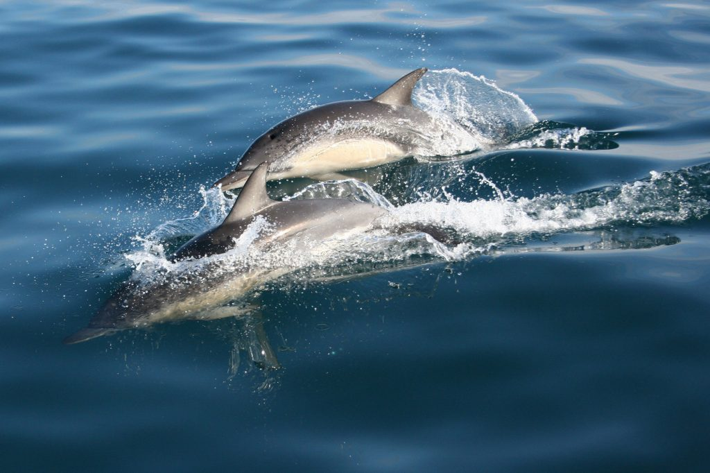 Dolphins common