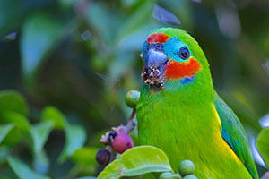 8 Day Bird – Tropical North Queensland