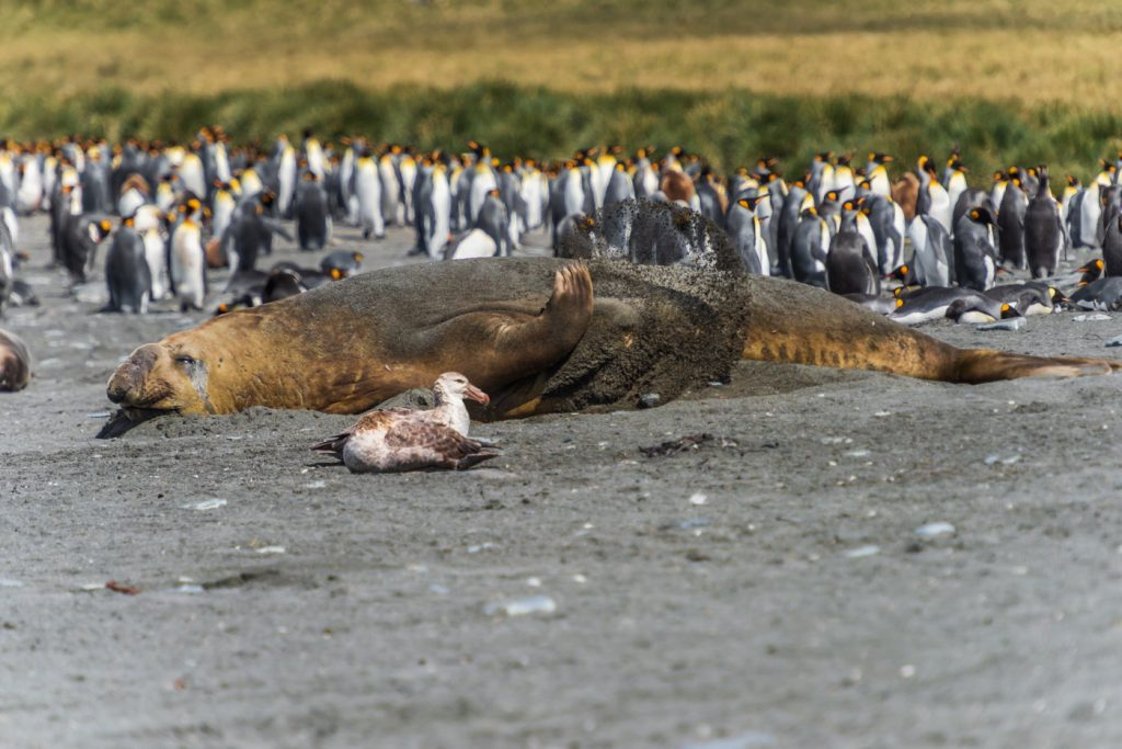 Elephant Seal and Penguins