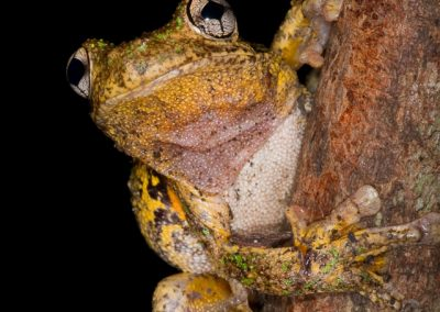 Emerald-Spotted Treefrog