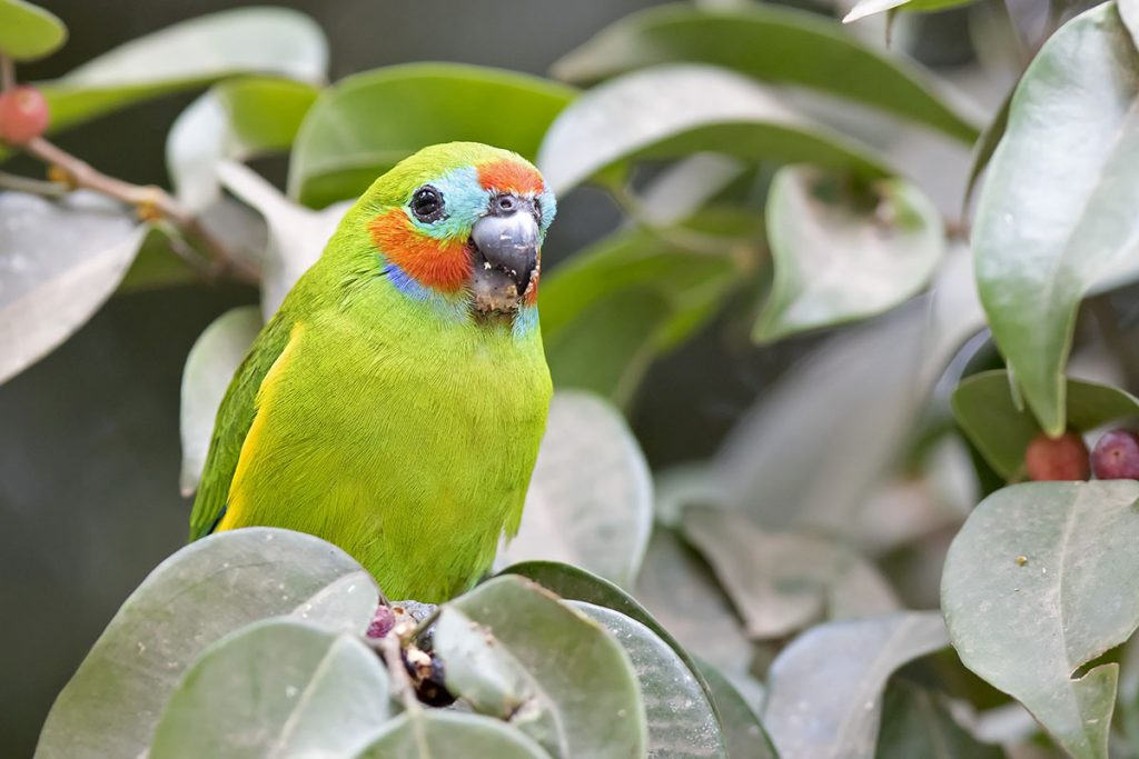 Double-eyed Fig Parrot (Cyclopsitta diophthalma)