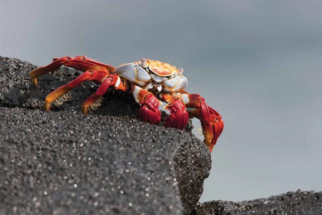 Galapagos crab