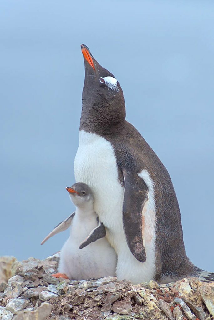 Gentoo Pengion with chick - Antarctica