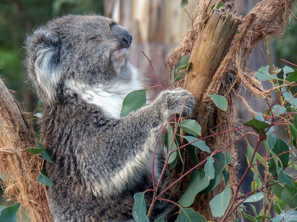 Healesville Koala