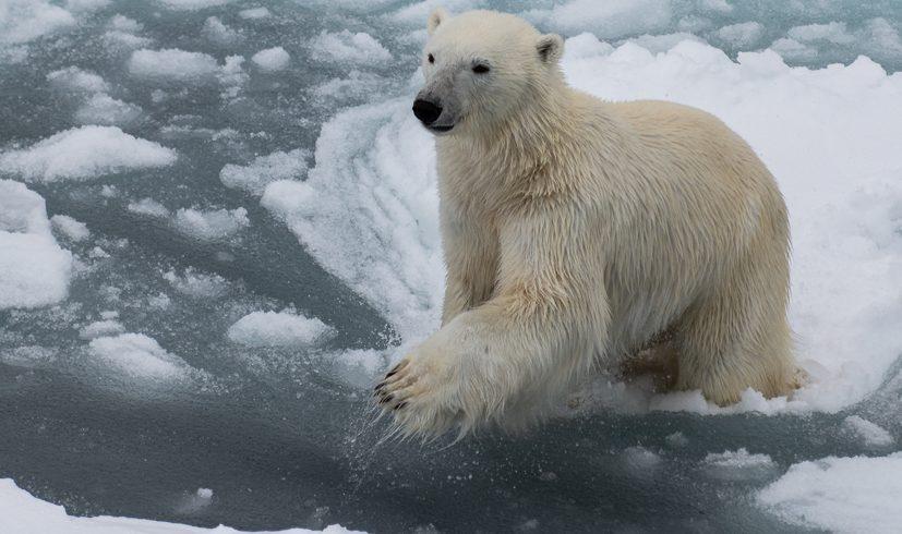 Leaping Polar Bear_Arctic