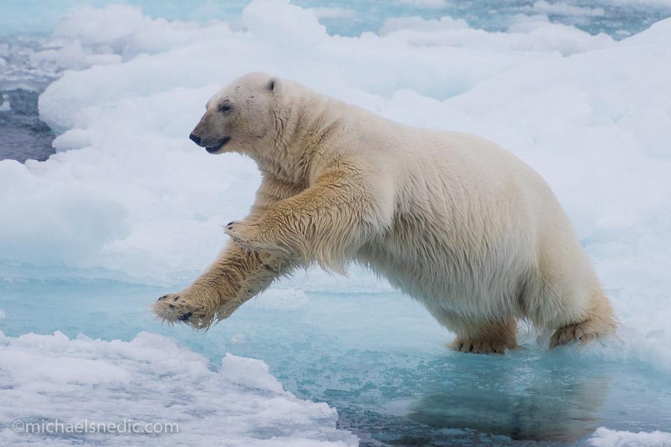 Leaping Polar Bear
