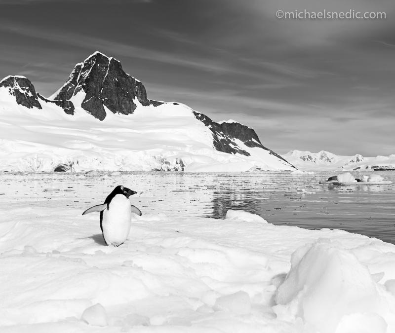 Lone Adele Penguin Antarctica