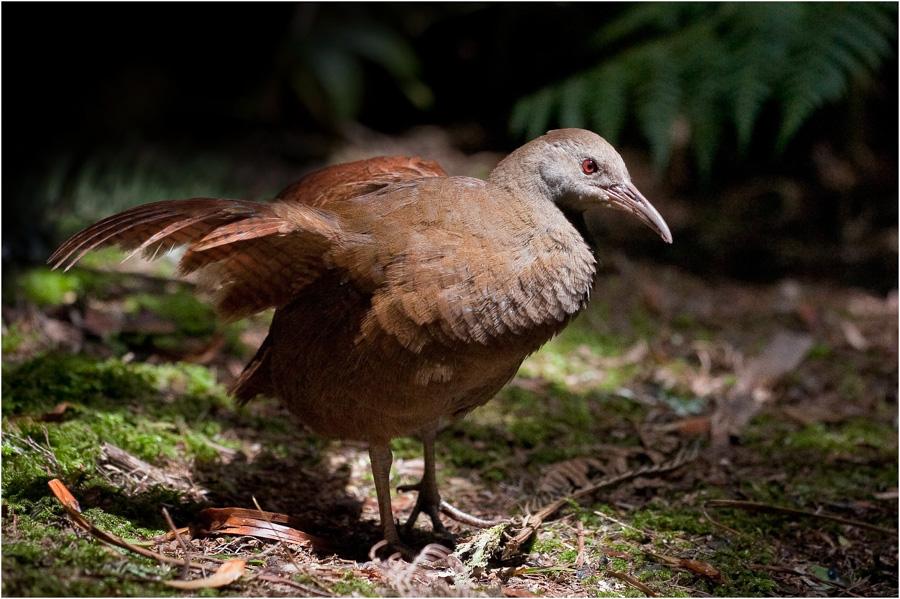 Lord Howe Island Woodhen