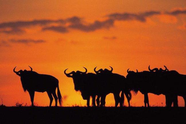 Mara Wildebeast Sunset