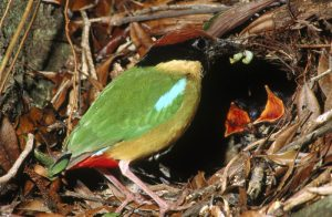 Noisy Pitta with chicks