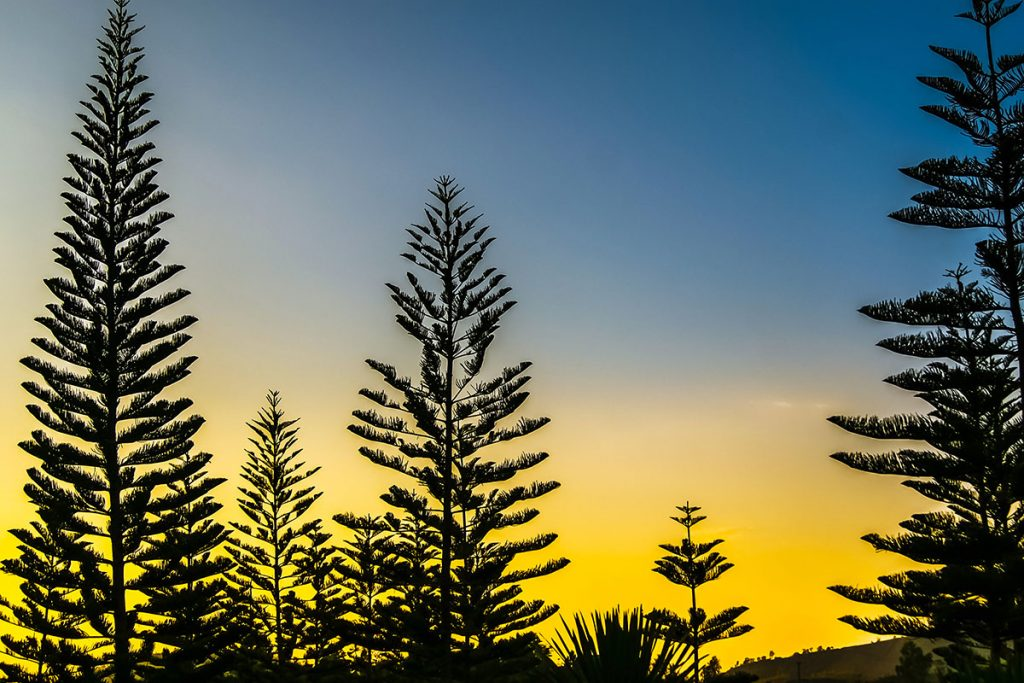 Norfolk island pine in the morning nature sky with pine tree Silhouette Sunrise yellow and blue sky