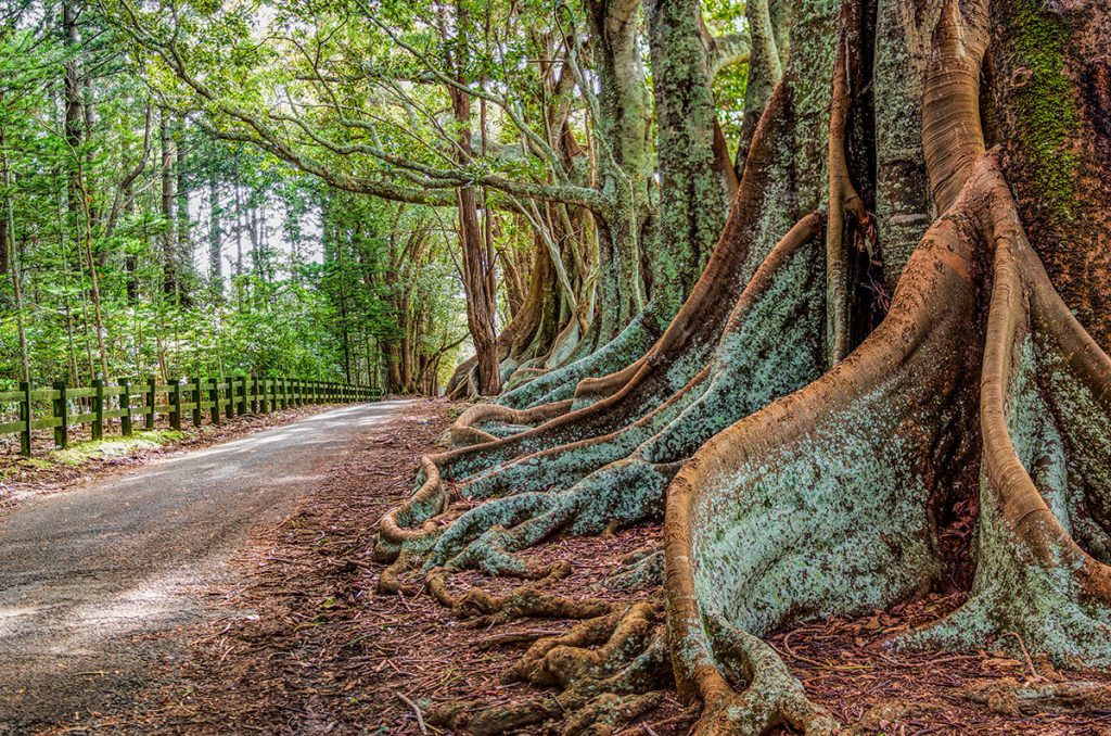 A view along New Farm Road on Norfolk Island, an historic and very picturesque island situated in the South Pacific.  The picture shows the buttress roots of the fig trees on one side of the road