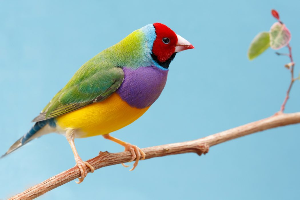 Beautiful Multi Colored Gouldian Finch Bird From Australia