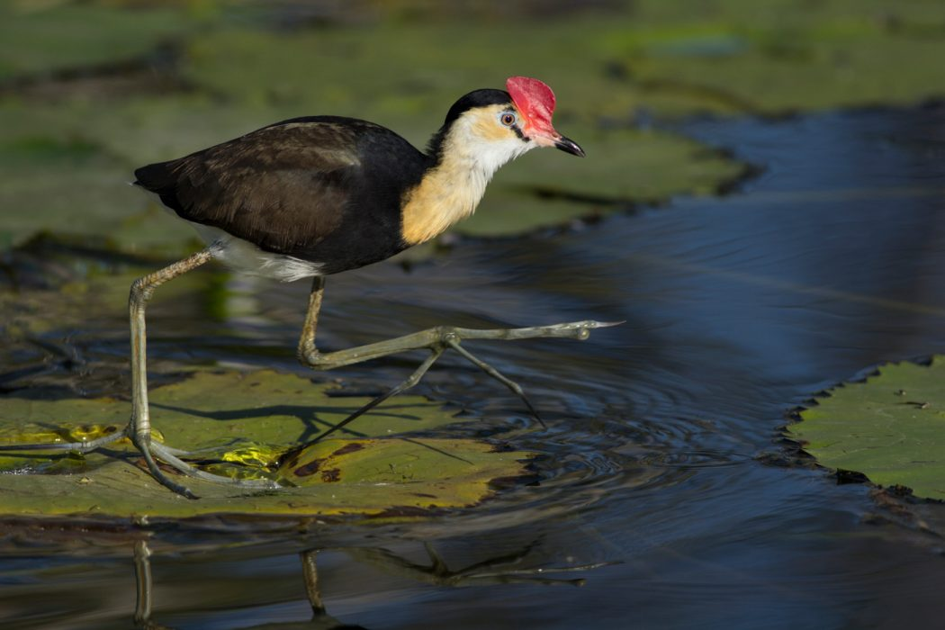 Comb- crested Jacana stepping across a gap in the lily pads on a lake in Australia