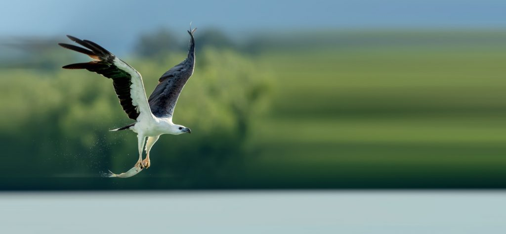White-bellied Sea Eagle foraging in the sea