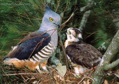 Pacific Baza With Chick
