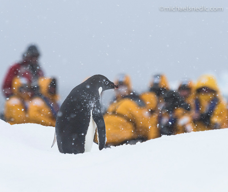 Adelie Penguin in Antarctica - Photographing Wildlife in Winter