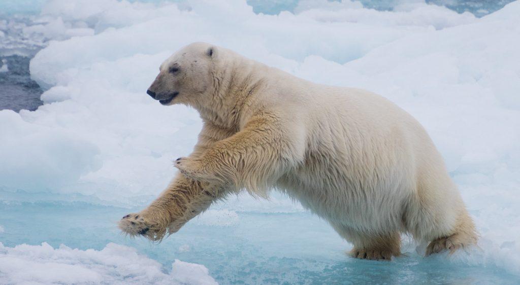 Polar Bear leaping - Svalbard