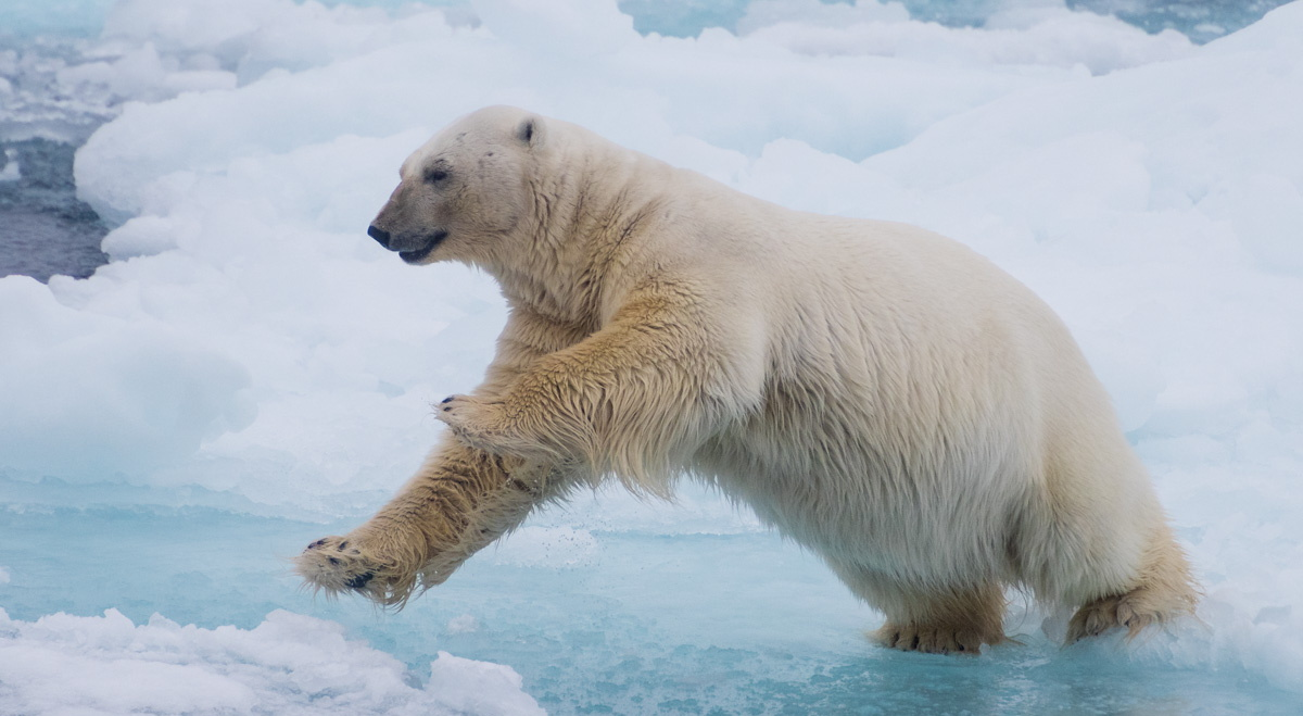 11 Day 'Arctic Polar Bear Photo Expedition'