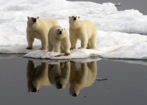 Polar Bears_Wrangel Island