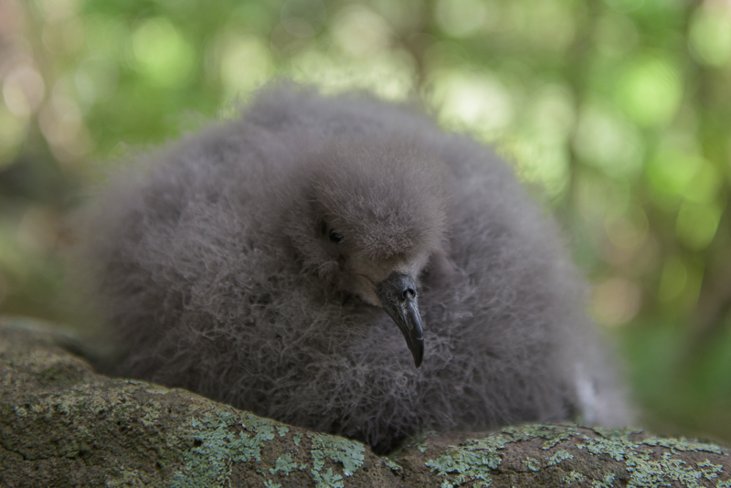 Providence Petrel chick Lord Howe Island