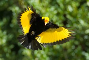 Regent Bowerbird at Lamington Rainforest
