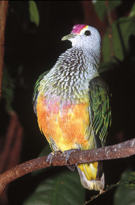 Rose-crowned FruitDove