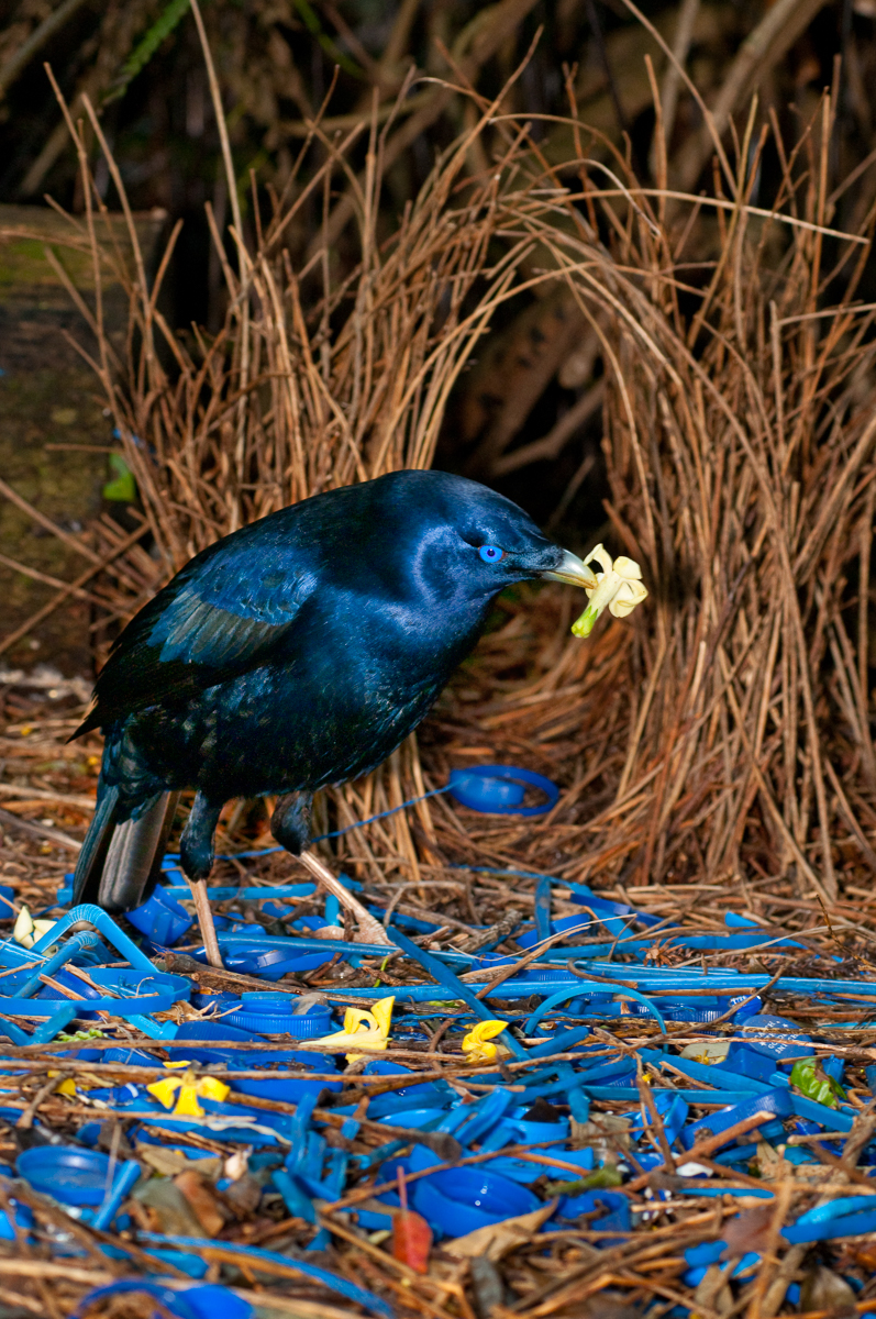 Satin Bowerbird at bower