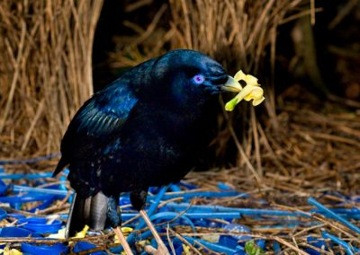 Satin Bowerbird In Bower
