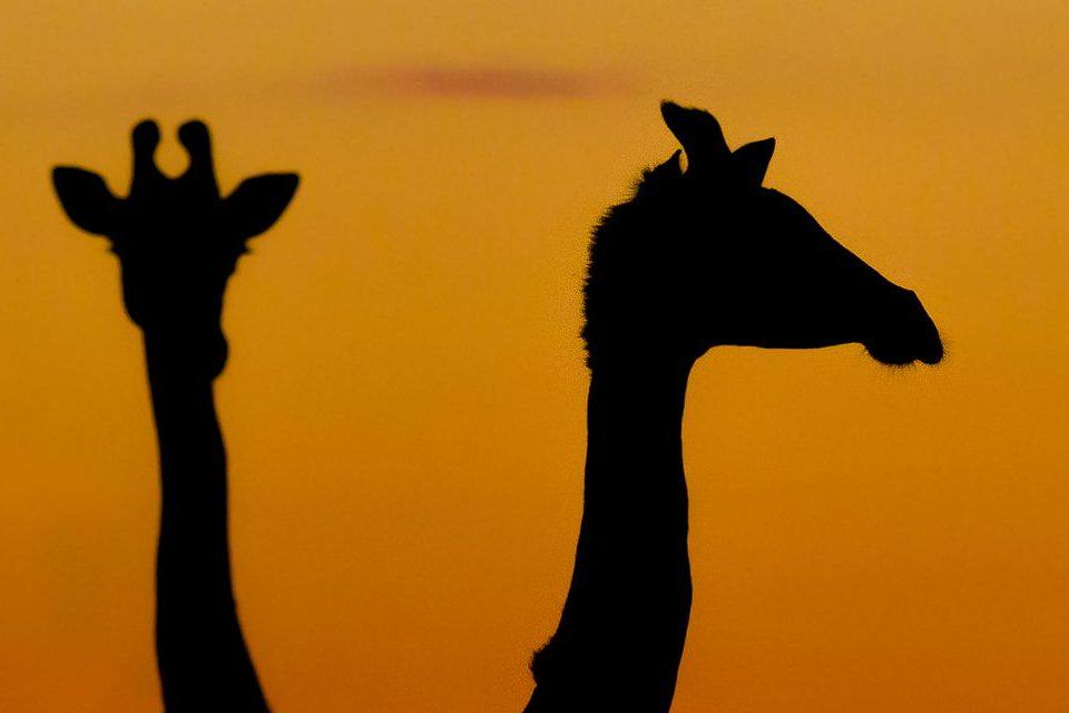 Sillhuetted Giraffes