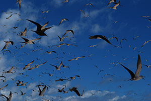 Sooty terns, Michaelmas Cay
